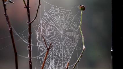 Une toile d\'araignée à Arras (Pas-de-Calais), le 23 octobre 2012. Le phénomène des filaments blancs se produit surtout en septembre et octobre, période où la rosée persistante et importante rend particulièrement visibles les fils de soie des araignées.