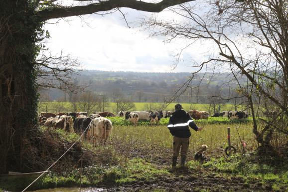 Vincent Gosselin et sa chienne de berger, Ibra, mènent le troupeau de vaches laitières au pré, à Fervaches (Manche) le 11 février 2016.
