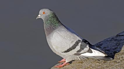 Photo d\'illustration d\'un pigeon domestique.