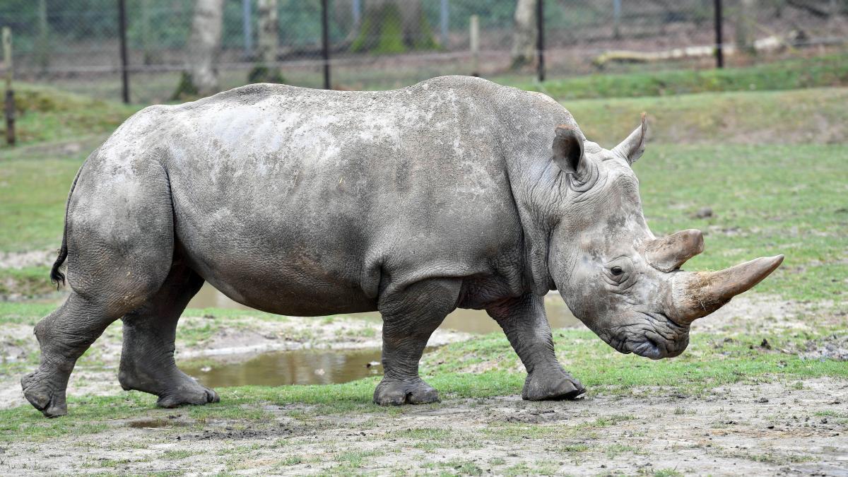 Abattu Zoo ThoiryLa Rhinocéros FranceNouveau De Au Terrain Lj3AR54q