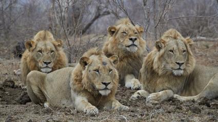 Des lions dans le parc national Kruger, en Afrique du Sud, en 2016.