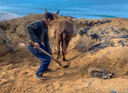 Un enfant d\'une douzaine d\'années charge le sable sur un âne, quelque part entre Asilah et Larache sur la côte atlantique dans le nord du Maroc, le 15 janvier 2019.