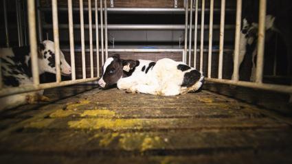 Un veau isolé dans une cage insalubre au sein d\'unélevaged\'engraissement de veaux du Finistère, entre juillet et octobre 2019.